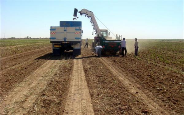 پیش بینی فراوری 1.1 میلیون تن چغندرقند پاییزه در سال 1400، توسط وزارت جهاد کشاورزی